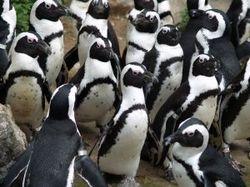 591523_penguin-thumb-250x187-16036